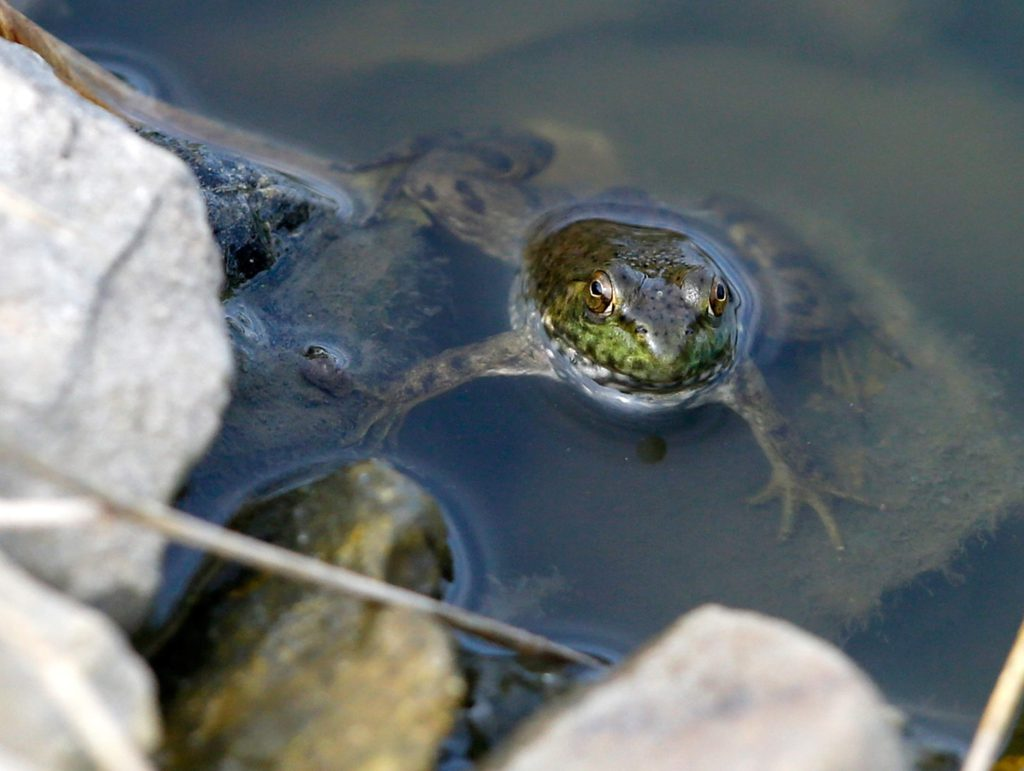 Serenity Prayer column - A frog peers out of a water hazard at Pleasant Valley golf course in Iowa City on Tuesday, September 9, 2014.